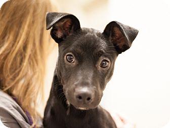 Pharaoh Hound Mix Dog for adoption in Dallas, Texas - Echo