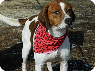 Beagle/Pointer Mix Dog for adoption in Buffalo, New York - Oppy