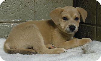 Labrador Retriever Mix Puppy for adoption in Henderson, North Carolina - Puppy