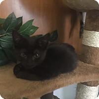 Adopt A Pet :: Astraya - Cranford/Rartian, NJ