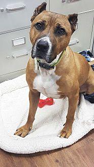 Labrador Retriever/Terrier (Unknown Type, Medium) Mix Dog for adoption in Lake Odessa, Michigan - Willow