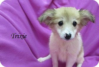 Chihuahua/Pomeranian Mix Puppy for adoption in Bartonsville, Pennsylvania - Delilah