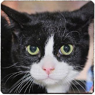 Domestic Shorthair Kitten for adoption in Salem, Massachusetts - Sparky