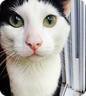 Domestic Shorthair Cat for adoption in Chicago, Illinois - Cisco