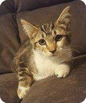 Domestic Shorthair Cat for adoption in Hampton, Virginia - JEWEL