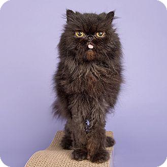 Persian Cat for adoption in Wilmington, Delaware - Piggy