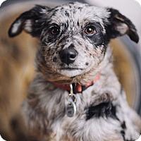 Adopt A Pet :: Mitzy - Portland, OR