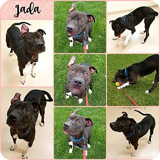 American Pit Bull Terrier Mix Dog for adoption in Joliet, Illinois - Jada