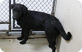 Labrador Retriever Mix Dog for adoption in Odessa, Texas - A05 Aubree