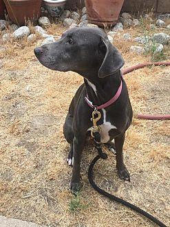 Weimaraner/Labrador Retriever Mix Dog for adoption in Sun Valley, California - Bailey