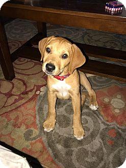 Labrador Retriever/Beagle Mix Puppy for adoption in North East, Florida - Moshi