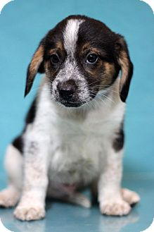 Hound (Unknown Type)/St. Bernard Mix Puppy for adoption in Waldorf, Maryland - Jackson