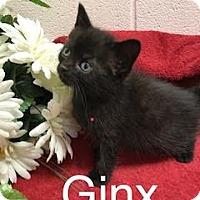 Adopt A Pet :: Ginx - Salem, WV