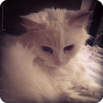 Oriental Cat for adoption in Oviedo, Florida - Missy Mota
