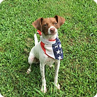 Jack Russell Terrier Mix Dog for adoption in Charlotte, North Carolina - Zeke