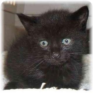 Domestic Shorthair Kitten for adoption in Naples, Florida - Larry