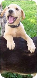Labrador Retriever/Retriever (Unknown Type) Mix Puppy for adoption in McArthur, Ohio - MONK