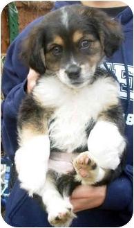 Australian Shepherd Mix Puppy for adoption in Mt. Prospect, Illinois - Pecan Pie