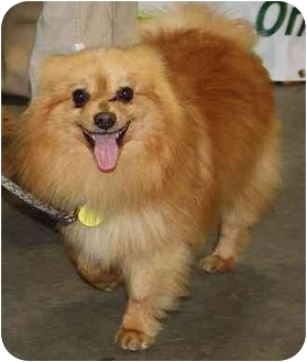Pomeranian Mix Dog for adoption in Homer, New York - Tommie