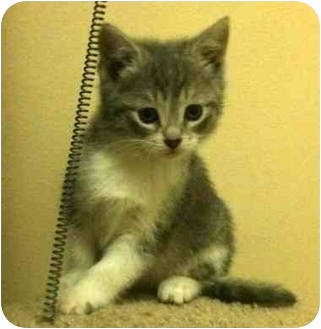 Domestic Shorthair Kitten for adoption in Troy, Michigan - Daisy