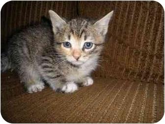 Domestic Shorthair Kitten for adoption in levittown, New York - Dora