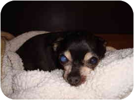 Chihuahua Mix Dog for adoption in Madison, Wisconsin - Janus