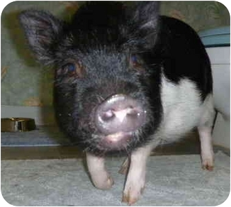 Pig (Potbellied) for adoption in Las Vegas, Nevada - Charley