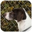 Photo 2 - German Shorthaired Pointer Dog for adoption in Kokomo, Indiana - mack