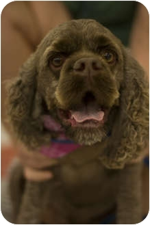 Cocker Spaniel Dog for adoption in Arlington, Texas - Duke