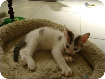 Domestic Shorthair Kitten for adoption in Coral Springs, Florida - Ace