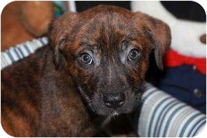 Boxer/Shepherd (Unknown Type) Mix Puppy for adoption in Marlton, New Jersey - Paddinton Bear