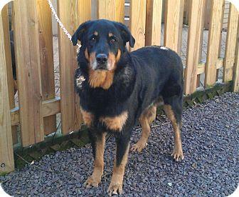 Rottweiler/Collie Mix Dog for adoption in Frederick, Pennsylvania - Malinko