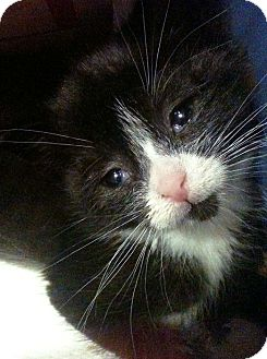 Domestic Shorthair Kitten for adoption in Brooklyn, New York - Viva