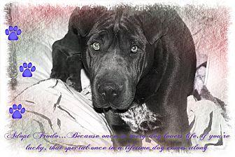 Shar Pei/Labrador Retriever Mix Dog for adoption in Apple Valley, California - Frodo