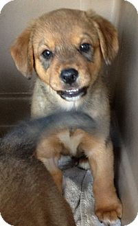 Australian Shepherd/Spaniel (Unknown Type) Mix Puppy for adoption in Gainesville, Florida - Jenny