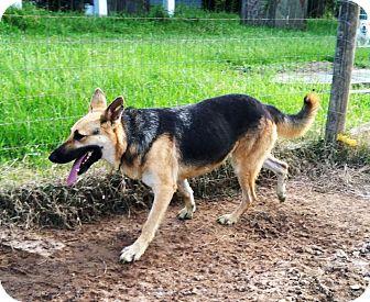German Shepherd Dog Dog for adoption in Starkville, Mississippi - Sheba