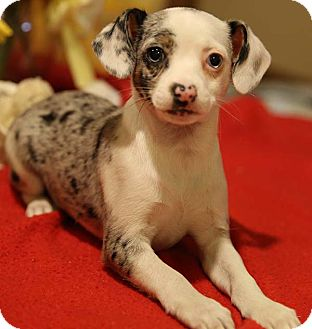 Chinese Crested/Rat Terrier Mix Puppy for adoption in Newtown, Connecticut - Magick