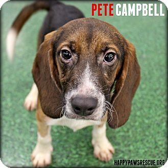 Beagle Puppy for adoption in South Plainfield, New Jersey - Pete Campbell