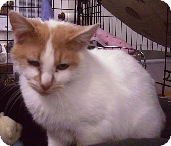 Domestic Shorthair Cat for adoption in Alden, Iowa - Creampuff