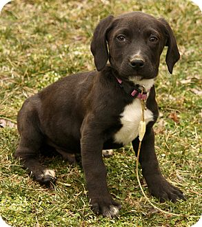 Border Collie Mix Puppy for adoption in Spring Valley, New York - Paddington