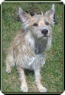 Terrier (Unknown Type, Medium) Dog for adoption in Kirkland, Quebec - Benjamin