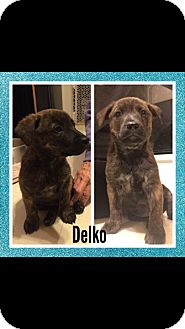Shepherd (Unknown Type)/Mountain Cur Mix Puppy for adoption in waterbury, Connecticut - Delko