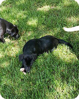 Labrador Retriever Mix Puppy for adoption in Miami, Oklahoma - Marge