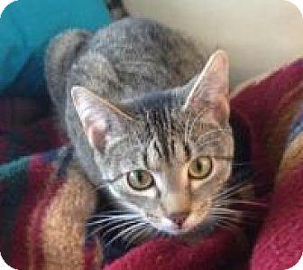 Domestic Shorthair Cat for adoption in Sheboygan, Wisconsin - Piper
