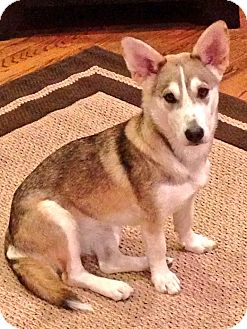 Husky/Corgi Mix Dog for adoption in Hagerstown, Maryland - Olive
