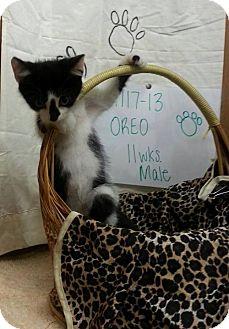 Domestic Shorthair Kitten for adoption in Greenville, Kentucky - OREO