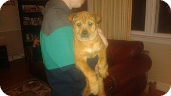 Shar Pei Mix Puppy for adoption in Lima, Pennsylvania - Holly