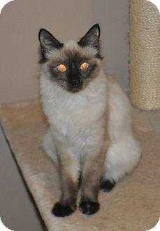 Ragdoll Kitten for adoption in Buford, Georgia - Bunny