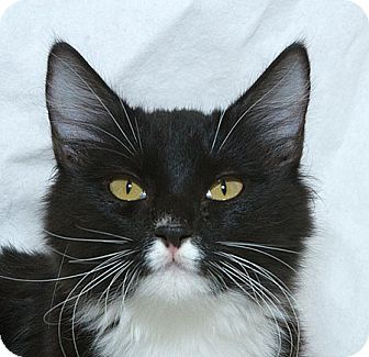 Domestic Longhair Kitten for adoption in Sacramento, California - Skittles M