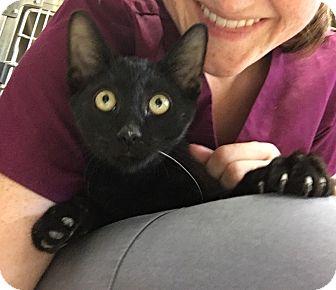 Oriental Kitten for adoption in Lakeland, Florida - Binx